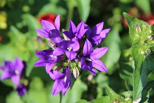 Violet Flowers, Flowering, Violet, Perennial, Purple