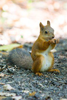 Squirrel, Eating, Nibbles, Redhead, Animal, Walnut