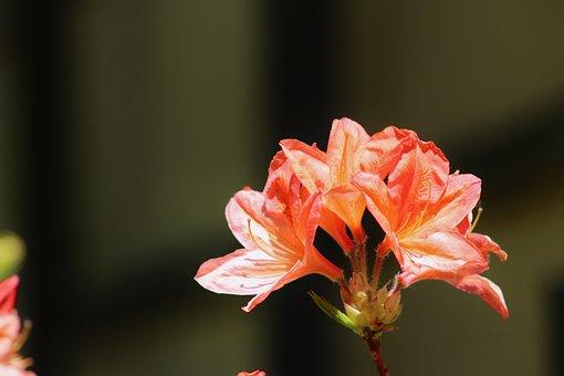 Flower, Garden, The Background, Wallpaper, Roses, Pink