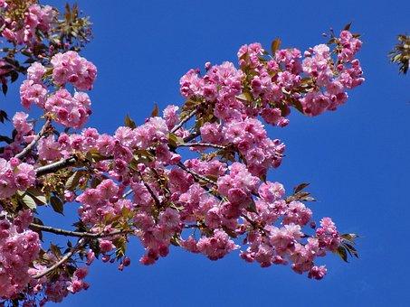 Sakura, Blooms, Bloom, Flowers, Tree, Japan