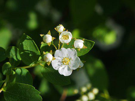 Spars Shrub, White, Small Flowers, White Flowers