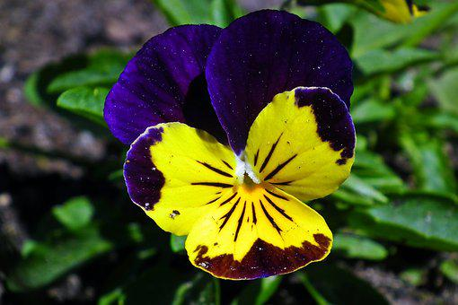 Flower, Pansy, Colored, Spring, Garden, Blooming