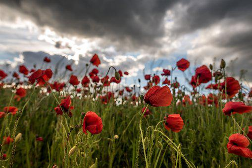 Poppy, Poppy Field, Flower, Red, Spring, Summer, Clouds