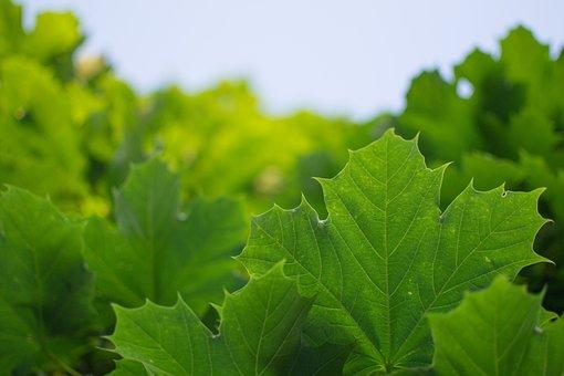 Tree, Leaves, Leaf, Green, Nature, Autumn, Summer