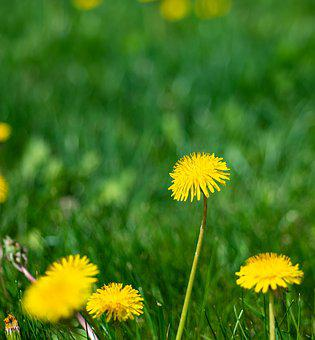Grass, Green, Dandelion, Green Grass, Meadow, Summer