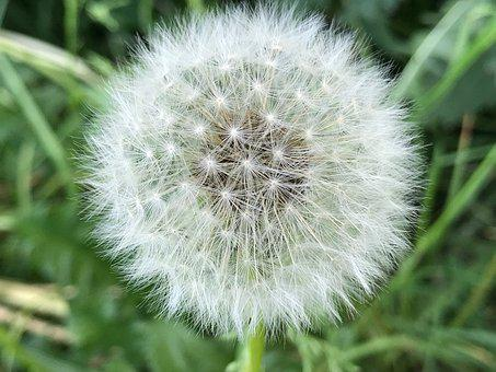 Dandelion, Nature, Close, Summer, Plant, Blossom, Bloom