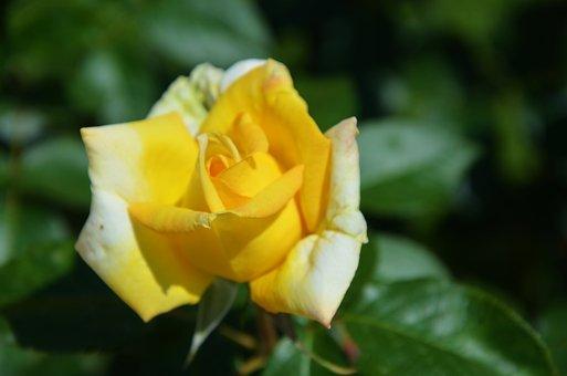 Yellow, Rose, Flower, Spring, Summer, Floral, Leaf