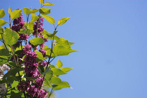 Without, Lilac, Bush, The Background, Wallpaper