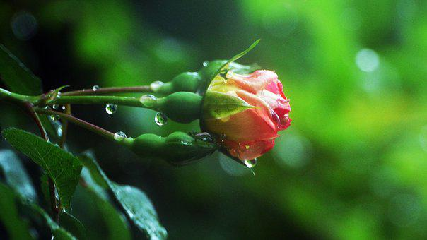 Rose, The Rain Came Back, This Type, Garden, Red Roses