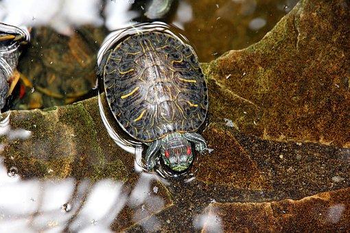 Tortoise, Trachemys Scripta, Red-eared Slider Turtle