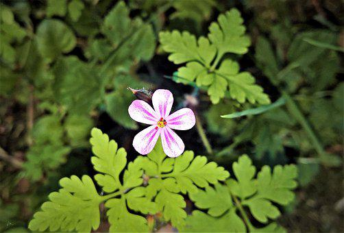 Flower, Wild Flower, Single Bloom, Pink Petals, Small