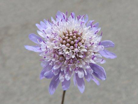 Wild Flower, Scabiosa, Pin Cushioning Flower, Scabious