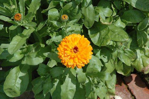 Flower, Garden, Yellow, Marigold, Calendula, Plant