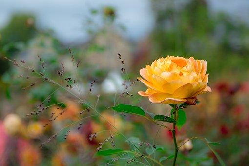 Rose, Yellow, Rose Bloom, Yellow Roses, Rose Blooms
