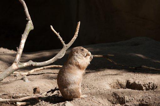 Prairie Dog, Animal, Mammal, Animal World