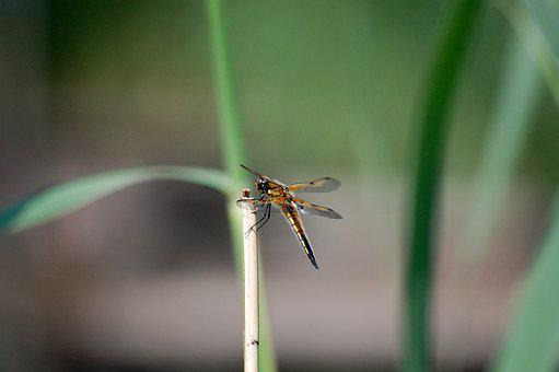 Dragonfly, Beetle, Nature, Insects, Macro