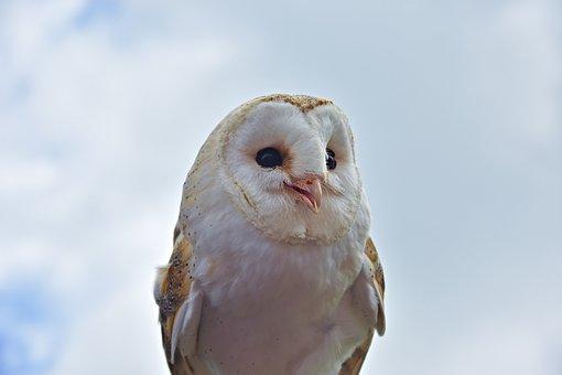 Owl, Raptor, Bird, Nature, Bird Of Prey, Plumage