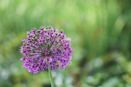 Allium, Ornamental Onion, Blossom, Bloom, Garden