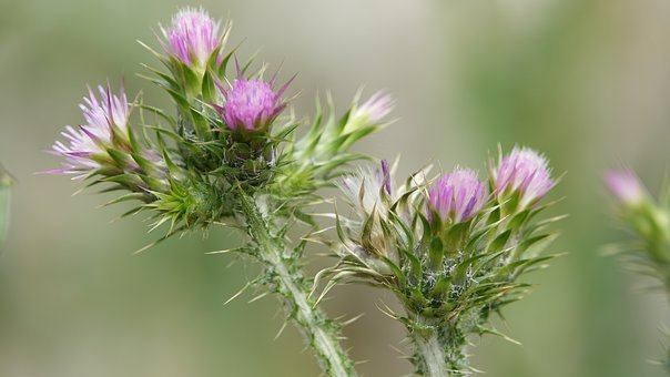 Thistle, Wild Flower, Blue Thistle, Field