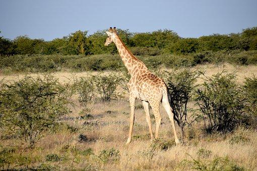 Giraffe, Tall, Walking, Bushes, Thorn, Tree, Grass