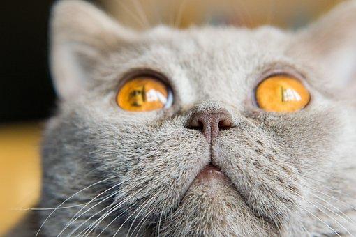 Cat, Nose, Eyes, Animals, Pet, British, Closeup