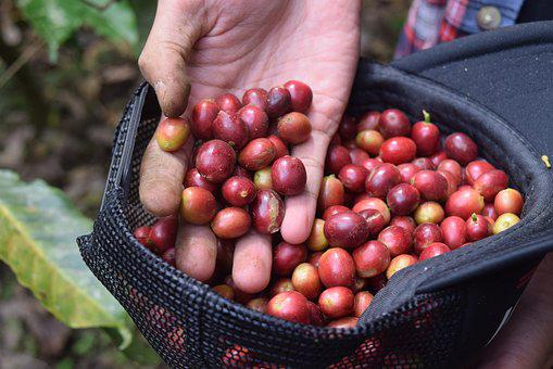 Coffee, Indonesian Coffee, Coffee Farm, Indonesian