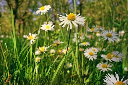Common Daisy, Daisy, Flower, Plant, Bellis Perennis