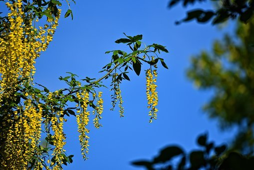 Common Laburnum, Golden Chain, Golden Rain, Flower
