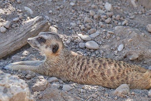 Meerkat, Concerns, Ausschau, Guard, Curious, Zoo