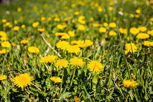 Meadow, Dandelion, Spring, Grass, Nature
