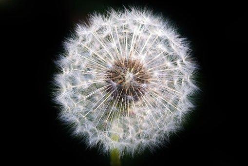 Dandelion, Dandelion Seeds, Seeds, Common Dandelion