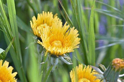 Flower, Blossom, Bloom, Dandelion, Yellow, Nature