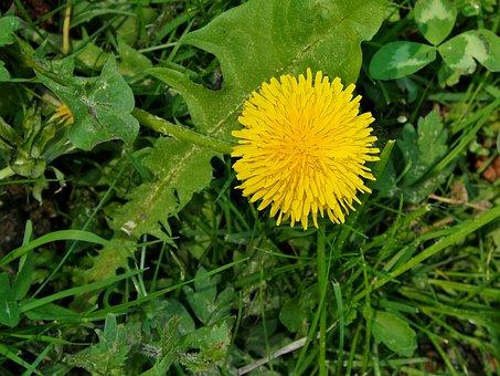 Dandelion, Yellow, Blossom, Bloom, Pointed Flower