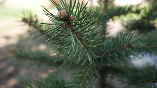 Spruce, Tree, Fir, Evergreen, Branch, Needle, Plant