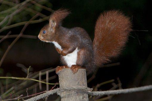 Squirrel, Fauna, Nature, Animal World