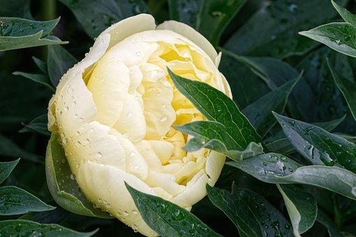 Bush Peony, Flower, Peony, Double Flower, Beautiful