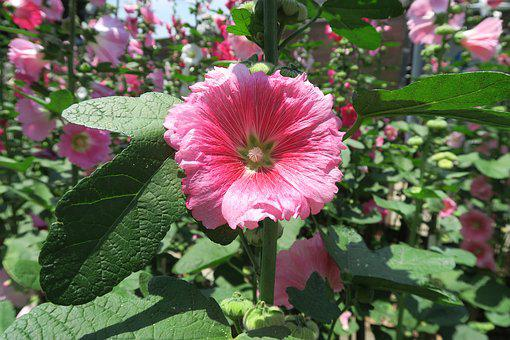 Flower, Shu And Flowers, Hollyhock Flowers