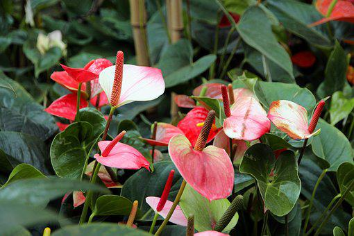 Anthurium, Flower, Beautiful Flower, Flowers