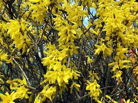 Forsythia, Yellow, Bush, Spring, Bloom