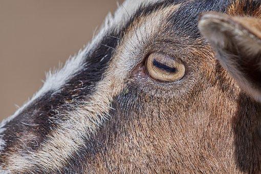 Goat, Eye, Mammal, Horns, Face, Animal