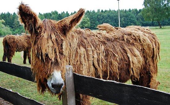 Donkey, Long Hair Donkey, Animal, Rural