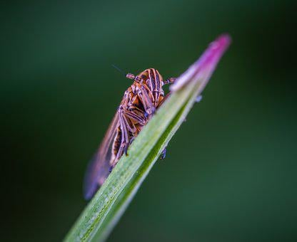 Macro, Insect, For Ordinary High Rot Leafhopper