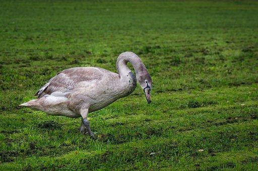 Mute Swan, Swan Young, Gray, Bird, Goes, Meadow, Lawn
