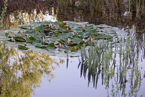 Pond, Mirroring, Water, Nature, Pond Flower