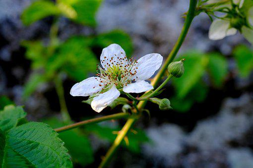 Wild Rose, Blossom, Bloom, Plant, Nature, Rose Family