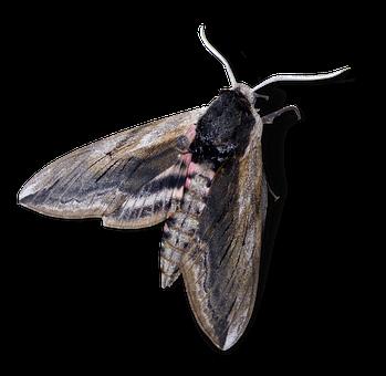 Moth, Night Butterfly, Agrius Convolvuli