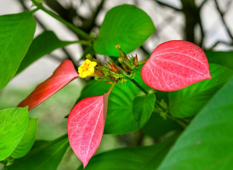 Mussaenda-vermelha, Red Flag Bush, Yellow, Flower, Pink