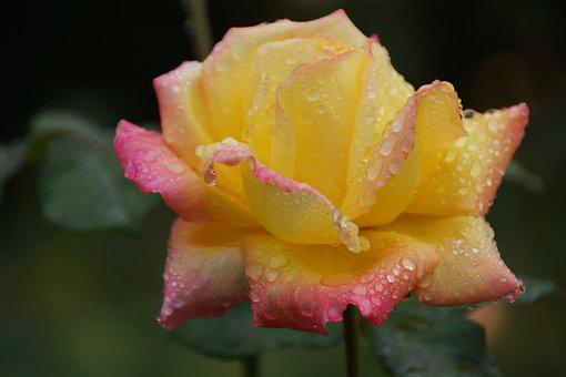Rose, Petals, Yellow, Pink, Raindrops