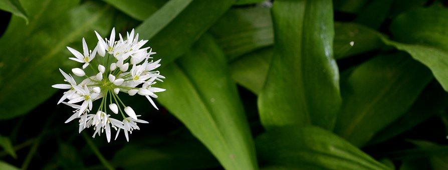 Bear's Garlic, Plant, Nature, Spring, Wood Garlic