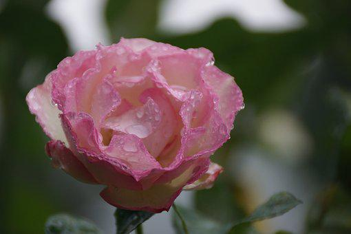 Pink, Rose, Petals, Soft, Raindrops